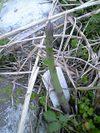Asuparagasu_060422